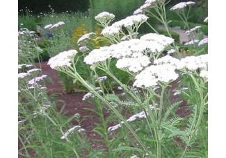 Тысячелистник обыкновенный , лист, стебель, цветущие верхушки ,  дикорастущие растение   Беларуси, купить.