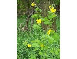 Чистотел, трава , лист, стебель, цветущие верхушки в  сухом виде, дикорастущие растение   Беларуси, купить.