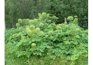 ДЯГИЛЬ ЛЕКАРСТВЕННЫЙ ,  дикорастущие растения Беларуси, цельные корни 3-5 см, купить, цельный сухой корень.