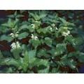 Яснотка белая, глухая крапива + череда + лист грецкого ореха , травы Беларуси.