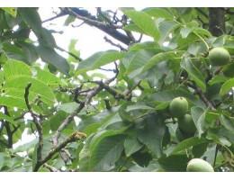 Грецкие зеленые орехи ( 1 кг). ,  лист сухой, м. побеги , купить,   растение Беларуси в сухом виде.