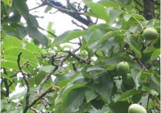 Грецкий орех , лист сухой, м. побеги , купить, растение Беларуси в сухом виде.