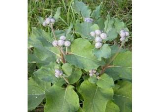 Лопух, репейник, листья , дикорастущие растения Беларуси в сухом виде, купить ( бесплатная доставка).
