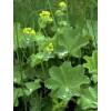 Манжетка , лист, стебель, цветущие верхушки, высушенная трава, купить, бесплатная доставка.