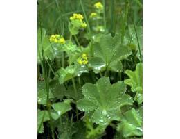 Манжетка  , лист, стебель, цветущие верхушки, растение в сухом виде , купить, Беларусь ( бесплатная доставка).