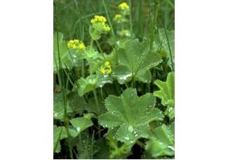 Манжетка сверкающая , лист, стебель, цветущие верхушки, растение в сухом виде , в наборе с другими дикорастущими растениями( уточняйте у продавца), Беларусь.