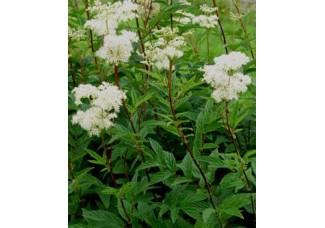 Таволга вязолистная , лабазник, лист, стебель , дикорастущее растение  в сухом виде , купить , Беларусь,