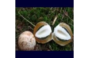 Веселка гриб, скоро в продаже.