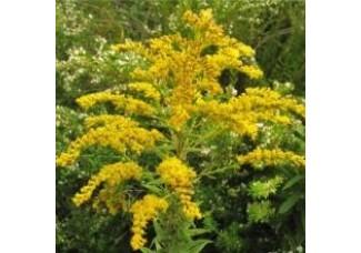 Золотарник  канадский,  лист, стебель, цветущие верхушки, дикорастущие  растение Беларуси в сухом виде, купить.