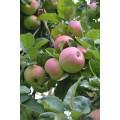 Яблоки, скоро в продаже.