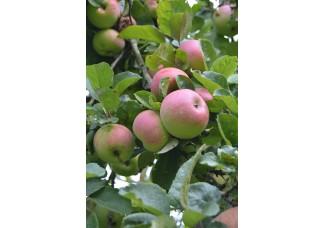 Яблоки с Родового поместья (малая Родина), химию не применяем.