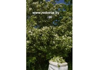 Боярышник колючий , цвет, лист , купить,  дикорастущие растение Беларуси.