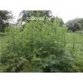 Болиголов пятнистый, стебель, лист, цвет, семена, высушенная  трава, купить, бесплатная доставка.
