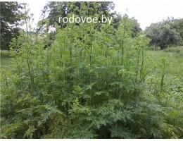 Болиголов пятнистый , стебель, лист, цветущие верхушки, семена, дикорастущие  растение Беларуси в сухом виде,