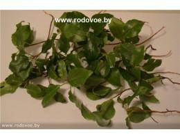 Боровая матка ,  купить , лист, стебель, дикорастущие  растение Беларуси в сухом виде,