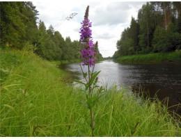 Дербенник , купить,  лист, стебель, цветущие верхушки, дикорастущие  растение Беларуси в сухом виде.