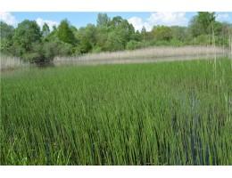 Хвощ лесной, болотный,  приречный, верхушки 5-10 см, дикорастущие растение Беларуси в сухом виде,, купить.