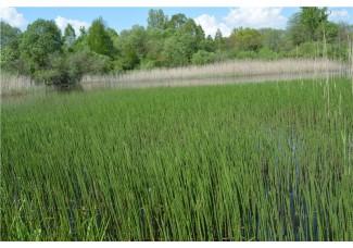 Хвощ лесной, болотный,  приречный, верхушки 5-10 см, дикорастущие растение Беларуси в сухом виде,, купить ( бесплатная доставка).