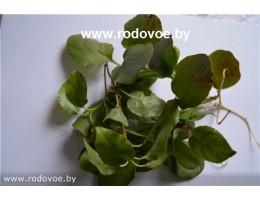 Круглолистная грушанка , лист, стебель,  дикорастущие растение в сухом виде, купить , Беларусь ( бесплатная доставка).