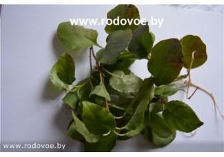 Грушанка круглолистная, лист, стебель, трава грушанки.