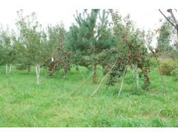 Яблоки, груши с Родового поместья, химия не используется. www.rodovoe.by