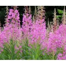 Кипрей (иван- чай), верхушки(лист, стебель, цвет),свойства , дикорастущие растение   Беларуси, купить.