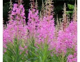 Кипрей (иван- чай) ,  лабазник ( таволга)  , мята , дикорастущие растение   Беларуси, купить.