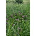 Клевер луговой, красный, сухая трава.