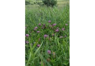 Клевер луговой, красный, цветы, лист, трава клевера.