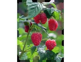 Малина ,  лист малины , стебель, верхушки  ,  дикорастущие  растения Беларуси в сухом виде., купить ( бесплатная доставка).