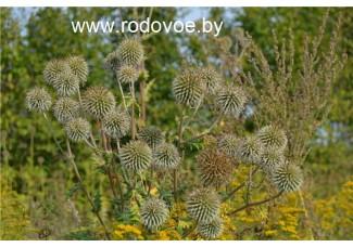 Мордовник обыкновенный,  мардовник , цельные семена( для оздоровительных целей) дикорастущие растение   Беларуси, купить.