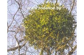 Характеристика омелы и советы по выращиванию (статья).