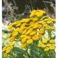 Пижма обыкновенная, цветущие верхушки, высушенная трава, купить, бесплатная доставка.