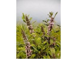 Пустырник, лист, стебель, цветущие верхушки, дикорастущие растение   Беларуси в сухом виде , купить.