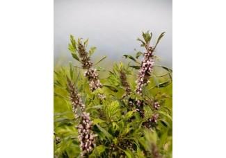 Пустырник, лист, стебель, цветущие верхушки, дикорастущие растение   Беларуси, купить.