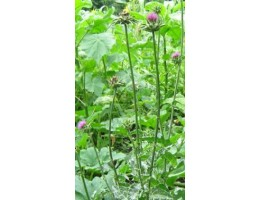 Расторопша пятнистая  , лист, стебель, цветущие верхушки, купить , дикорастущие растение  Беларуси в сухом виде, купить ( бесплатная доставка).