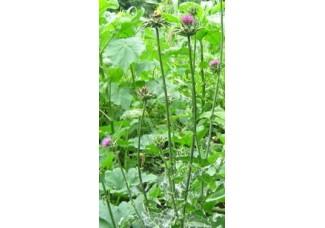 Расторопша пятнистая, лист, стебель, цветущие корзинки, высушенная трава, купить, есть в наличии.
