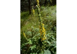Репейничек аптечный , репешок аптечный, лист, стебель, цветущие верхушки, дикорастущие растение Беларуси в сухом виде, купить.