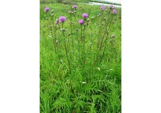Василек шероховатый  , лист, стебель, цветущие верхушки, растение (травы)Беларуси в сухом виде ( бесплатная доставка).