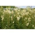 Лабазник вязолистный, трава лабазника, цветы, стебель, лист.