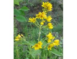 Вербейник обыкновенный , лист, стебель, цветущие верхушки,  дикорастущие  растение Беларуси в сухом виде,