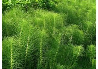 Хвощ полевой, лесной, трава хвоща.