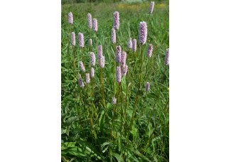 Горец змеиный , змеевик , купить, раковые шейки ,дикорастущие растение Беларуси, цельные сухие корни 3-5 см, купить.