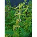 Зюзник европейский, лист, стебель, цветущие верхушки, высушенная трава, купить, бесплатная доставка.